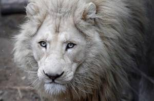 A four-year-old white lion Semuel is seen at the zoo in Tbilisi